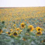 地平線まで続く向日葵畑
