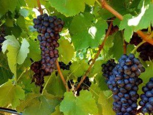 カリスト オーガニックワイン